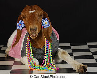 goat dressed up as a girl on black background - purebred south african boer