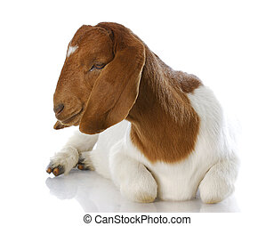 goat laying down - purebred traditional south african boer doe - 5 months old