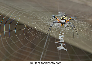 Selective focus image of a Golden Orb Weaver spider laying on her web waiting for her next meal.