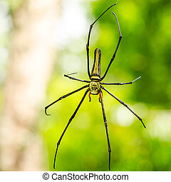 female Golden Web Spider (Nephila pilipes) - The Giant wood...