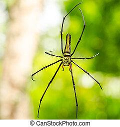 female Golden Web Spider (Nephila pilipes) - The Giant wood...