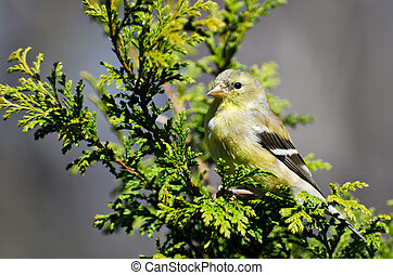 Female Goldfinch Perched in a Cedar Tree