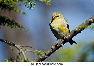Female Goldfinch Perched in a Tree