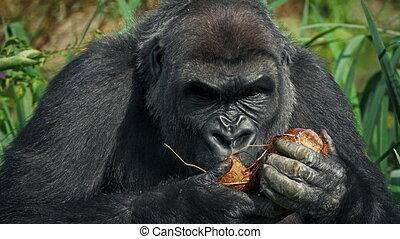 Female Gorilla Eating Coconut - Female gorilla eats coconut...