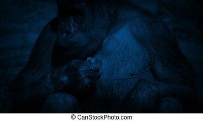 Female Gorilla Eating Plants At Night