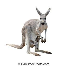 female gray kangaroo with joey