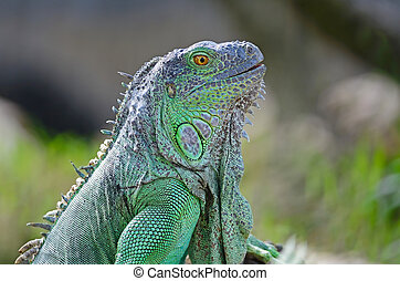 Green Iguana - Female Green Iguana (Iguana iguana), standing...