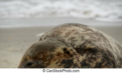female grey seal smells at her pup