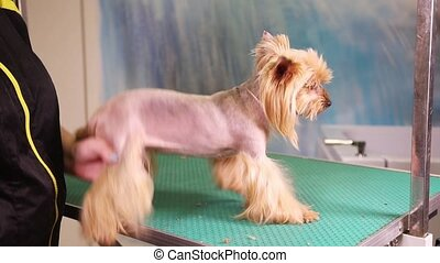 Female groomer makes a hairstyle of Yorkshire Terrier dog