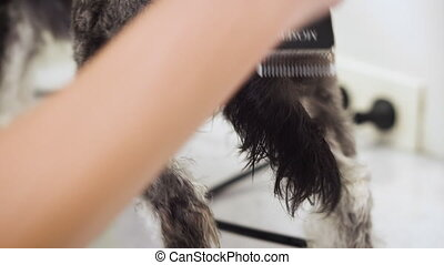 Female groomer, trimming afraid dog hair with clipper. Dog...