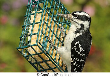 Hairy Woodpecker (Picoides villosus) - Female Hairy...