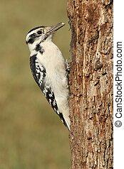 Female Hairy Woodpecker (Picoides villosus)