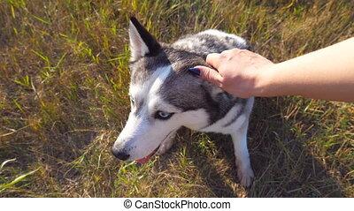 Female hand caress her siberian husky at field on sunset....