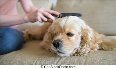 Girl take care about cocker spaniel with hairbrush - Female...