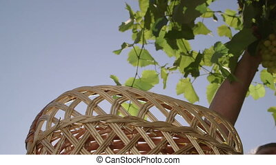 Female hand cutting bunch of seedless white grapes from vine placing in basket