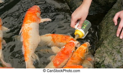Female hand feeds from a bottle of Japanese red carp - A...