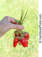 Female hand holding ripe and unripe strawberries just picked from garden bed.