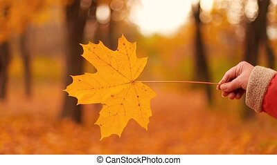 female hand holding yellow maple leaf in in a beautiful yellow autumn forest or park. Golden season