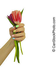 female hand holds a bouquet of tulips isolated