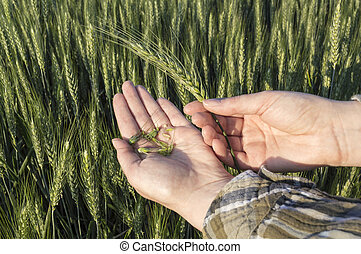 Female hand in barley field, agricultural concept.