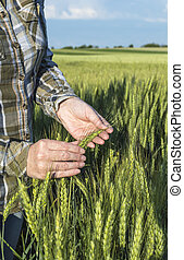 Female hand in barley field, farmer examining plants, agricultural concept.