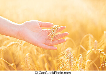 Female hand in cultivated agricultural wheat field. Crop...