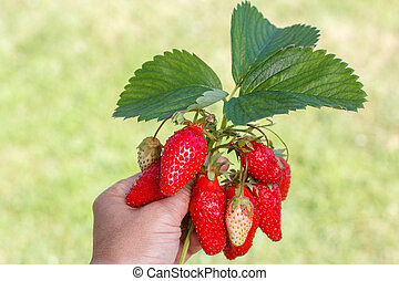 Female hand is holding fresh red ripe strawberries with green background