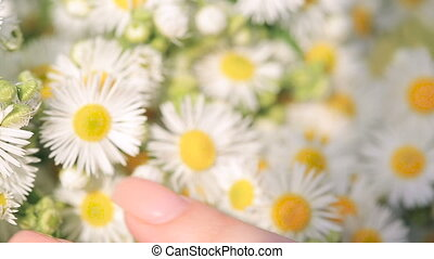 female hand is touching a bouquet of daisies