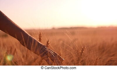 Female hand moves tenderly the spikes of ripe wheat at sunset in slow motion