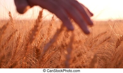 Female hand moves the spikes of ripe wheat at sunset in slow motion