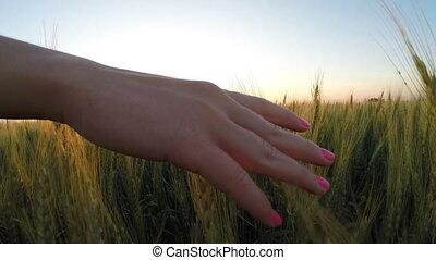 Female hand on an ear of wheat. sun