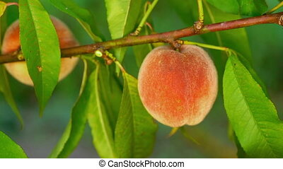Female hand pick ripe juicy peaches from peach tree. Branch ...