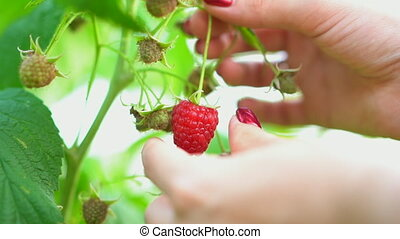 Female hand pick ripe raspberry from bush. Branch in fruit ...