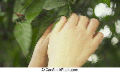 Female hand picking ripe lime from the tree.
