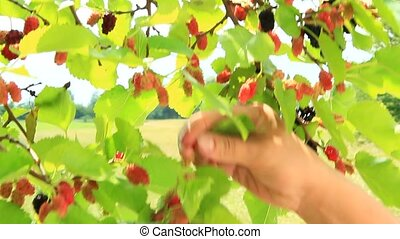 Female hand plucking ripe mulberry from tree. Berries of mulberry. Mulberry tree with ripe berries. Collecting crop of sweet berries hanging on tree