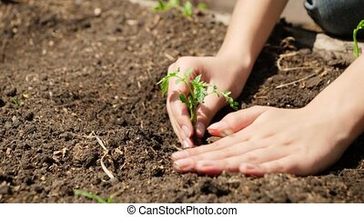 Female hand putting new green plant sprout in garden bed and covering it with fertilized soil. Concep of organic food, bringing new life and protecting nature.