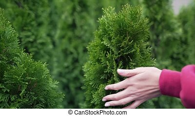 Female hand stroking a coniferous seedling. The concept of care and attention to ecology and environmental problems. Coniferous branch for Christmas decorations