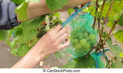 Female hand tie a ribbon on a protective bag for grapes. Young woman picking bunch of juicy grapes on the vineyard during the vine harvest. Farmer at work.