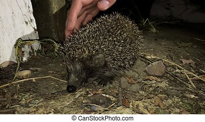Female hand touches a small urban hedgehog on a green lawn on a summer night. 4k footage.