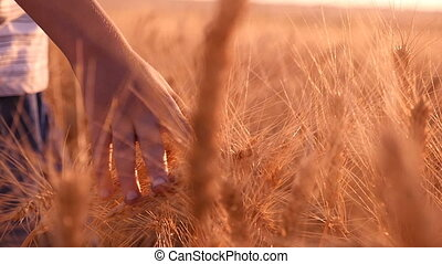 Female hand touches upon the spikes of ripe wheat at sunset in slow motion