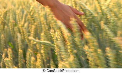 Female hand touching barley wheat in field at sunset