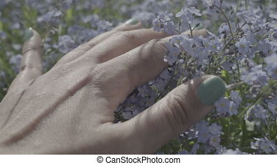 female hand touching forget me not flowers springtime...