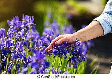 Female hand touching iris flower,Blue iris flower in the garden blossom,Female hands holding a blue iris on a green blurred background, close-up