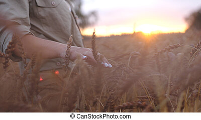 Female hand touching wheat. Agriculture harvest grove. Close...