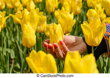 Female hand with red nail touching yellow tulip in garden