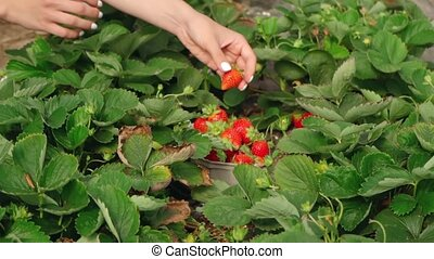 Crop of female hands of unrecognizable woman gently collecting ripe strawberries working at indoors plantation. Motion of female farmer filling paper box with organic berries at hothouse.