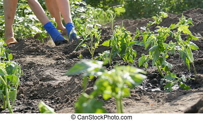 Female hands dig into the ground young tomato plant. Tomato...