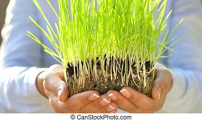 Female hands hold out handful of soil with green grass....