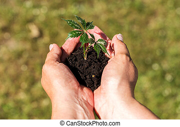 Female hands hold the young plant