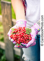 Female hands holding fresh redcurrant fruits in garden